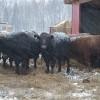Мясное скотоводство — обмен опытом